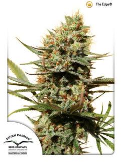 The Edge Feminizowane, Nasiona Marihuany, Konopi, Cannabis