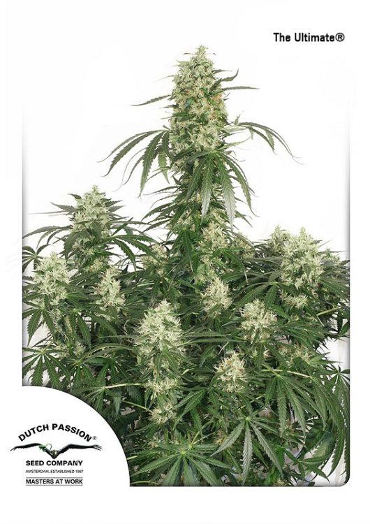 The Ultimate Feminizowane, Nasiona Marihuany, Konopi, Cannabis