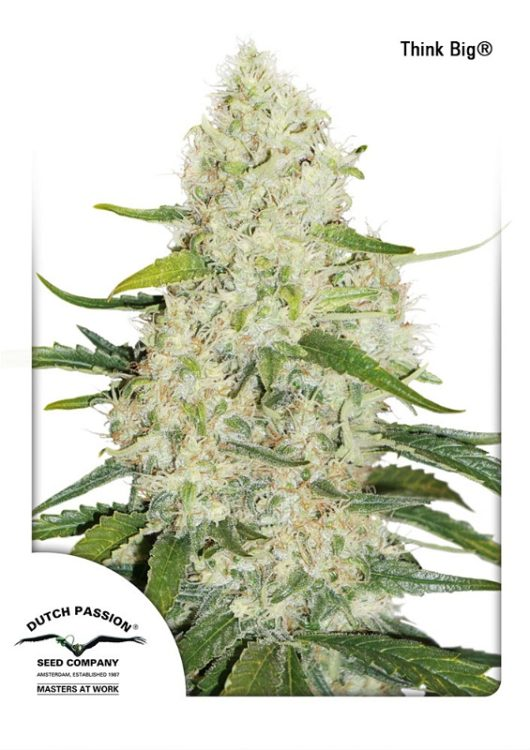 Think Big Automatic Feminizowane, Nasiona Marihuany, Konopi, Cannabis