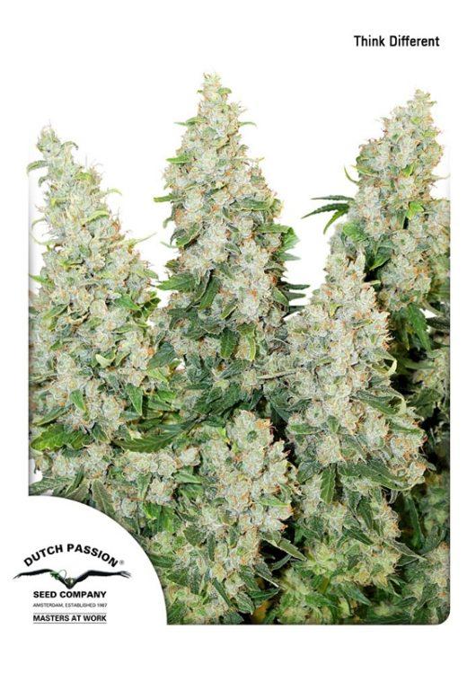 Think Different Automatic Feminizowane, Nasiona Marihuany, Konopi, Cannabis