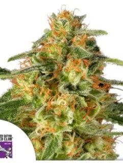 TnT Trichome Feminizowane, Nasiona Marihuany, Konopi, Cannabis