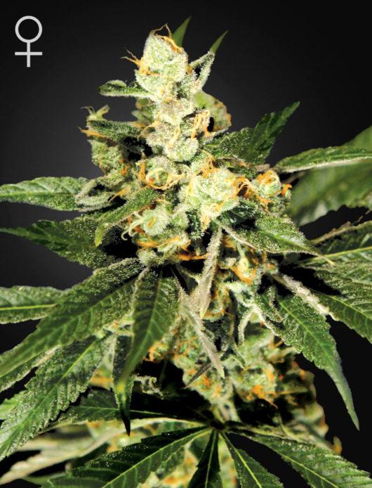 Train Wreck Feminizowane, Nasiona Marihuany, Konopi, Cannabis