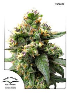 Trance Feminizowane, Nasiona Marihuany, Konopi, Cannabis