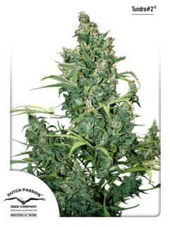 Tundra#2 Automatic Feminizowane, Nasiona Marihuany, Konopi, Cannabis