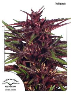 Twilight Feminizowane, Nasiona Marihuany, Konopi, Cannabis