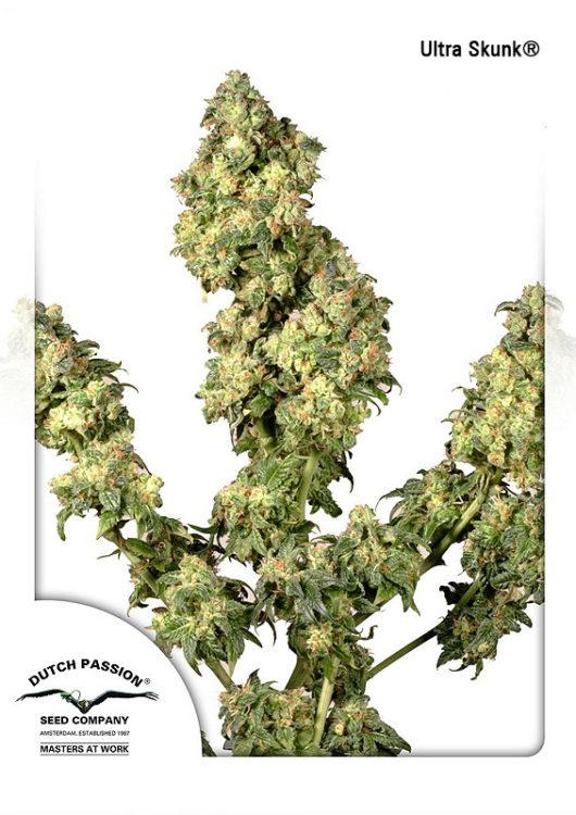 Ultra Skunk Feminizowane, Nasiona Marihuany, Konopi, Cannabis