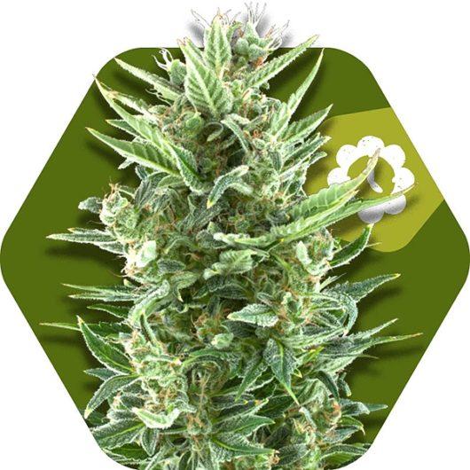 Vanilla Ice Automatic Feminizowane, Nasiona Marihuany, Konopi, Cannabis