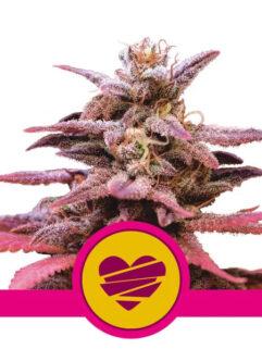 Wedding Crasher Feminizowane, Nasiona Marihuany, Konopi, Cannabis