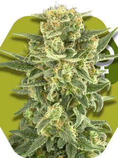 White Cheese Feminizowane, Nasiona Marihuany, Konopi, Cannabis