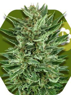 White Cheese Automatic Feminizowane, Nasiona Marihuany, Konopi, Cannabis