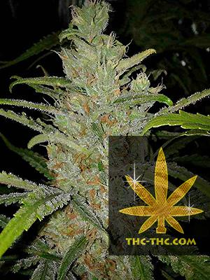 White Grapefruit Feminizowane, Nasiona Marihuany, Konopi, Cannabis