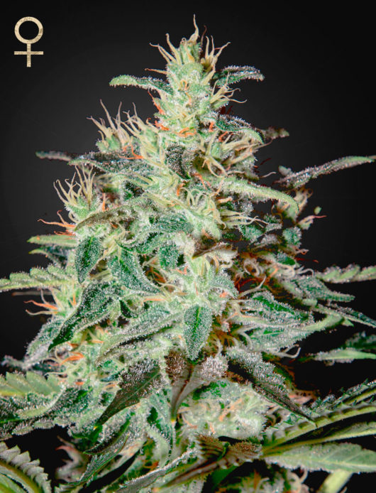 White Lemon Feminizowane, Nasiona Marihuany, Konopi, Cannabis