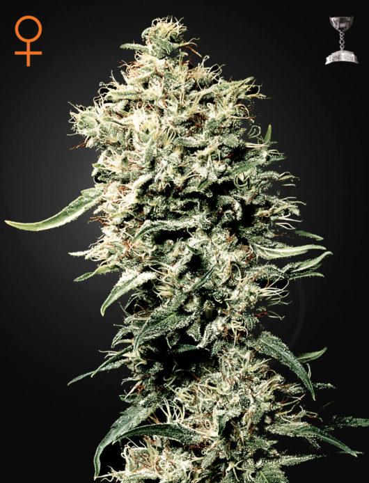 White Rhino Feminizowane, Nasiona Marihuany, Konopi, Cannabis