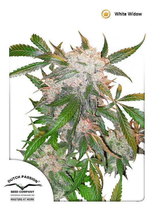 White Widow Feminizowane, Nasiona Marihuany, Konopi, Cannabis