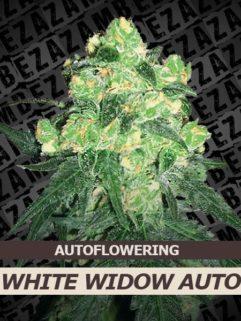 White Widow Automatic Feminizowane, Nasiona Marihuany, Konopi, Cannabis