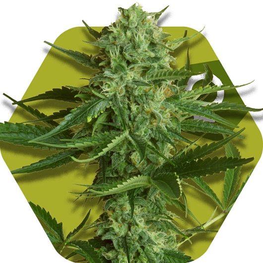 White Widow Haze Feminizowane, Nasiona Marihuany, Konopi, Cannabis
