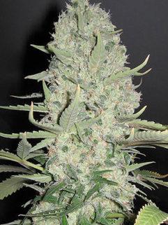 White Widow x Big Bud Feminizowane, Nasiona Marihuany, Konopi, Cannabis