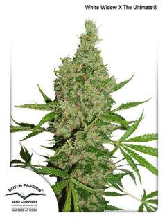 White Widow X The Ultimate Regularne, Nasiona Marihuany, Konopi, Cannabis