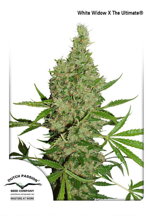 White Widow X The Ultimate Regularne, Nasiona Marihuany, Konopi, Cannabis