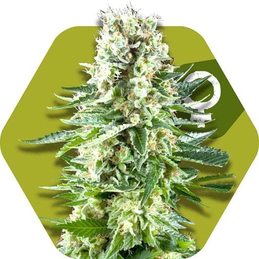 White Widow XL Feminizowane, Nasiona Marihuany, Konopi, Cannabis