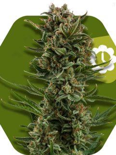 White Widow XL Automatic Feminizowane, Nasiona Marihuany, Konopi, Cannabis