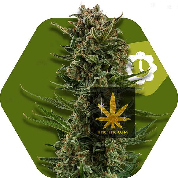 White Widow XL Automatic Feminizowane